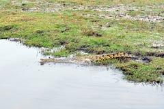 Crocodile in Chobe National Park, Botswana Stock Images
