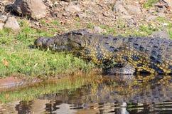 Crocodile in Chobe National Park, Botswana Royalty Free Stock Photography