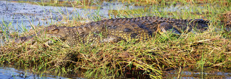 Crocodile in Chobe River. Chobe National Park, in northern Botswana, has one of the largest concentrations of game in Africa Stock Images