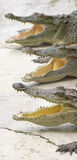 Crocodile Choir Royalty Free Stock Photos