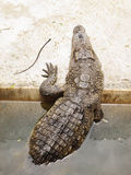Crocodile climbing out on the bank Royalty Free Stock Photos