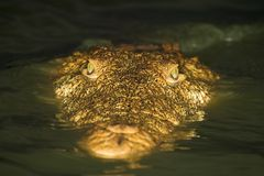 Free Crocodile Close Up Royalty Free Stock Images - 1236109