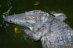 Crocodile close-up Royalty Free Stock Photo