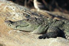 Crocodile close-up Stock Photography