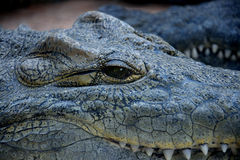 Crocodile close-up. A crock gently smiling at you Royalty Free Stock Photo