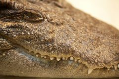 Crocodile. Close-up of the head Royalty Free Stock Images