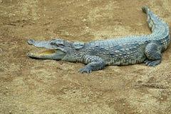 Crocodile. The close-up of a crocodile on sand ground. Scientific name:Crocodylus porosus Stock Photo