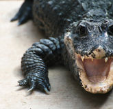 Crocodile. Royalty Free Stock Image