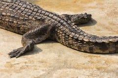 Crocodile close-up Stock Image