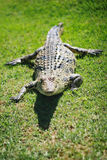 Crocodile Closeup. Nile crocodile with his beady eye on the photographer Stock Photo