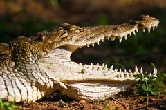 Crocodile closeup of the head. In the sun Stock Photos