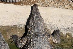 Crocodile Royalty Free Stock Images