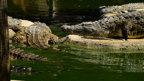 Crocodile coming out of a river in natural park full of crocodiles. Crocodile or alligator in a river of a natural park or zoo stock video footage