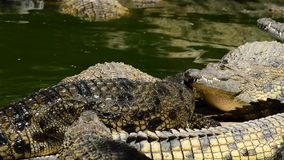 Crocodile coming out of a river in a natural park or zoo. Crocodile or alligator in a river of a natural park or zoo stock video