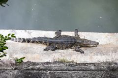 Crocodile on the concrete floor in forest Stock Photography