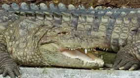Crocodile cooling down by keeping mouth open, Indore zoo-India Royalty Free Stock Photo