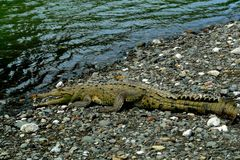 Crocodile in Corcovado National Park, Costa Rica. Crocodile close to Sirena river in Corcovado National Park, Costa Rica Stock Images