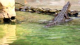 Crocodile crawling to water stock footage