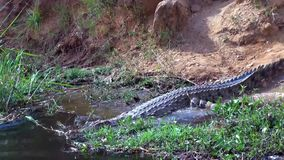 Crocodile crawling to the water stock video footage