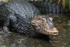 A crocodile. A crocidile coming out of the water Royalty Free Stock Photography