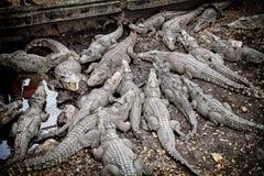 Crocodile crocodile- Cienaga de Zapata stock photography