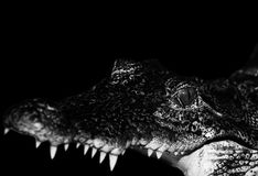 Crocodile. Is open mouth. image black and white stock photography