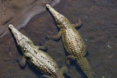 Crocodile. Site in Costa Rica, Central America Stock Images