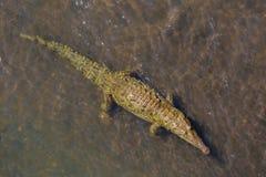 Crocodile. Site in Costa Rica, Central America Stock Photos
