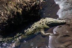 Crocodile. Site in Costa Rica, Central America Royalty Free Stock Photo