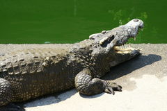 Crocodile. S in the  farm in Bangkok Stock Photography