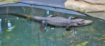 Crocodile. S are larger  animals living in connection with water in Africa, Asia, America and Australia Stock Photography