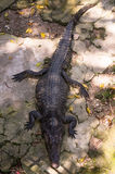 Crocodile. S or true s are large aquatic reptiles that live throughout the tropics in Africa, Asia, the Americas and Australia. Crocodylinae, all of whose Royalty Free Stock Photography