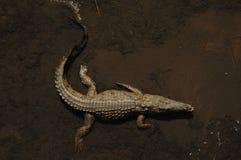 Crocodile (Crocodilia). Crocodile in a river (South Africa Stock Images
