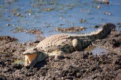 Crocodile (Crocodilia). Crocodile in a river (South Africa Stock Photo
