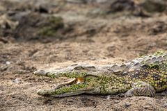 Crocodile - Crocodylia. Crocodile with open mouth lying on a gravel bed -South Africa&#x29 Royalty Free Stock Photography