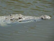 Crocodile (Crocodylus acutus) Royalty Free Stock Images