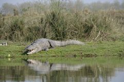 Crocodile, Crocodylus palustris. Crocodile in the Chit-wan National Park, Nepal Stock Photography