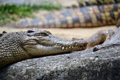 The crocodile Royalty Free Stock Images
