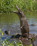 Crocodile d'attaque Images stock