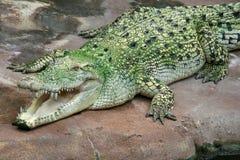 Crocodile d'eau de mer Image libre de droits
