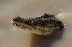 Crocodile d'eau de mer Photographie stock libre de droits