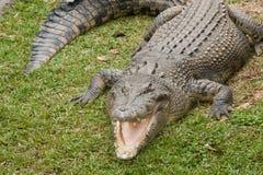 Crocodile d'eau de mer Photo libre de droits