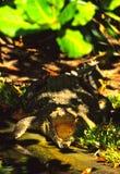 Crocodile d'eau de mer avec la bouche ouverte Images libres de droits