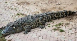 Crocodile d'eau de mer dans l'étang Images stock