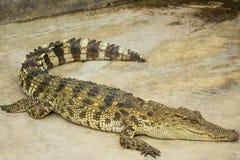 Crocodile d'eau de mer dans l'étang Image libre de droits