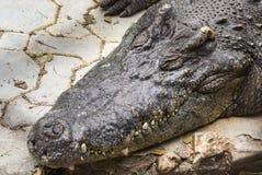 Crocodile d'eau de mer dans l'étang Photos stock