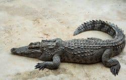 Crocodile d'eau de mer dans l'étang Photographie stock