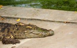 Crocodile d'eau de mer dans l'étang Photo libre de droits