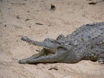 Crocodile d'eau douce australien Images libres de droits