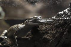Crocodile d'eau doux Photographie stock libre de droits